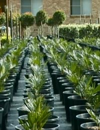 Filled_pots_in_nursery_growing_area