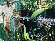Prise-winning-Orchids-on-Benching-in-a-Shade-House